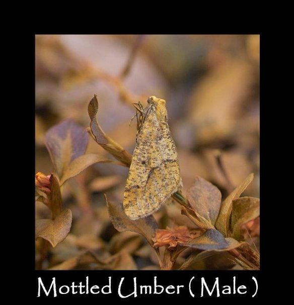 L Mottled Umber (Male)3