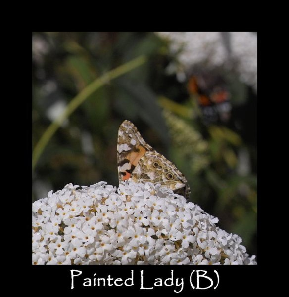 L Painted Lady (B) 2 (2)