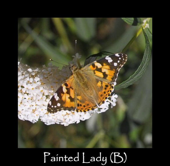 L Painted Lady (B) (2)