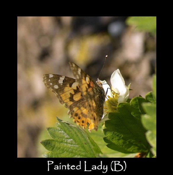 L Painted Lady (B)