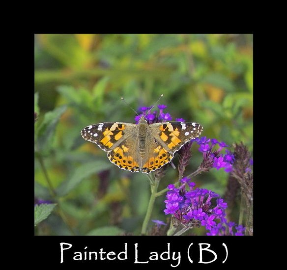 L Painted Lady ( B )