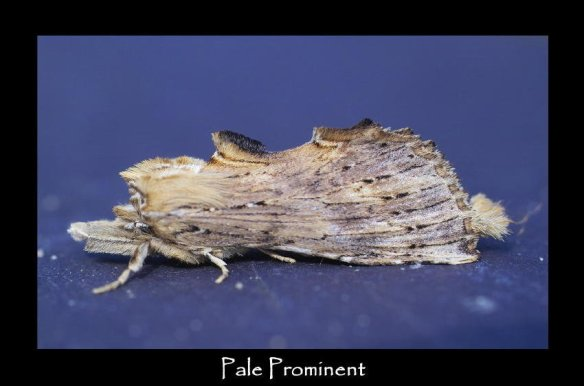 L Pale Prominent 2