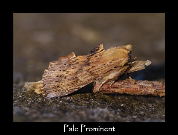 L Pale Prominent (2)