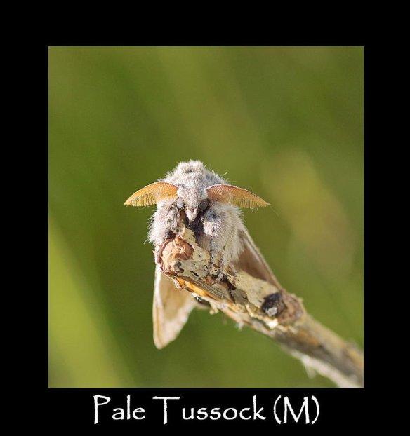 L Pale Tussock (M) (2)