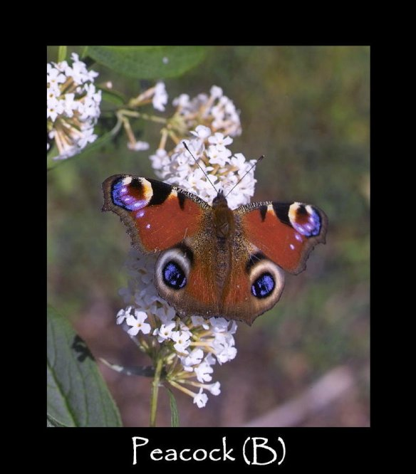 L Peacock (B) (2)