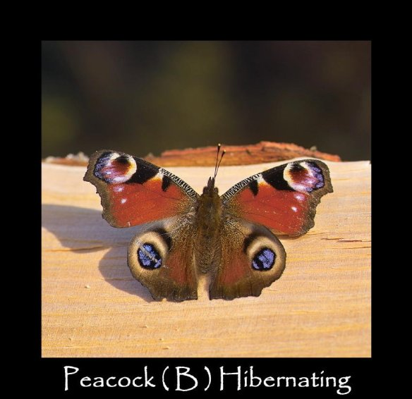 L Peacock ( B ) Hibernating 2