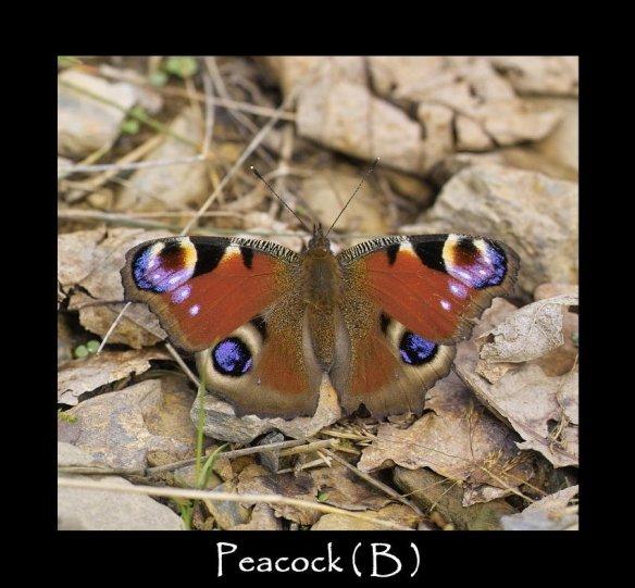 L Peacock ( B )