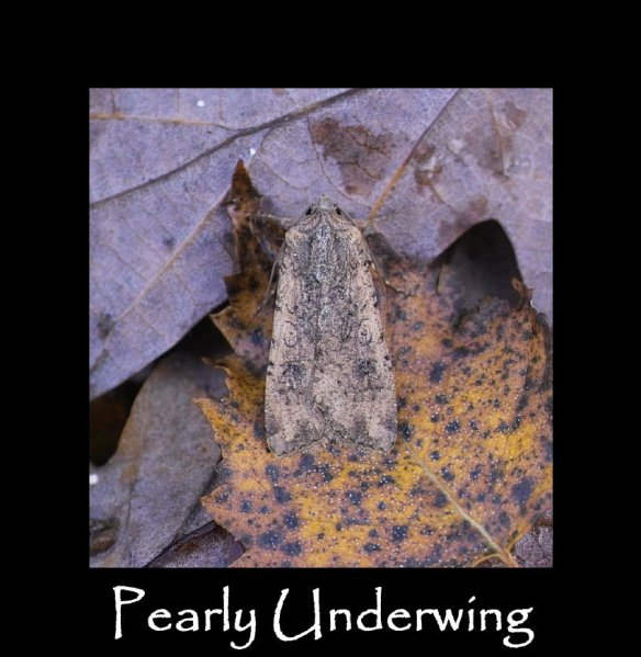 L Pearly Underwing