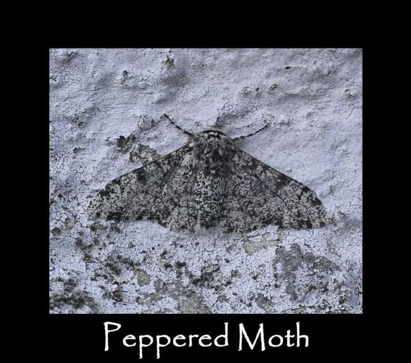 L Peppered Moth (2)