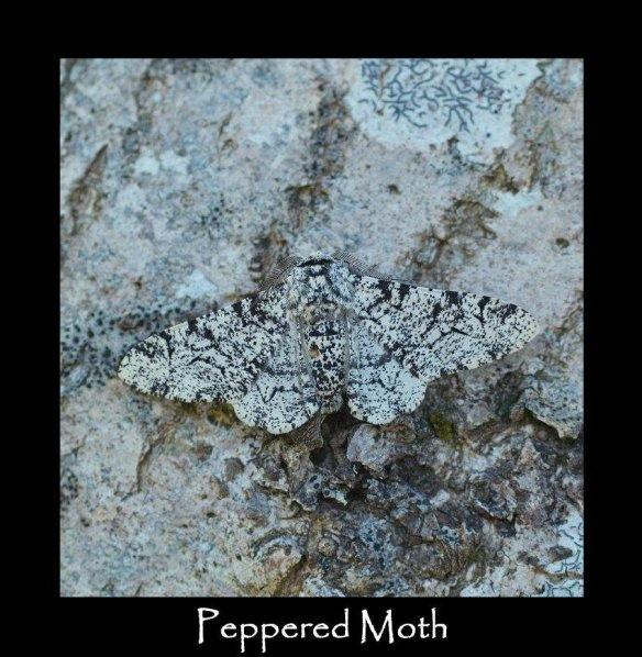 L Peppered Moth