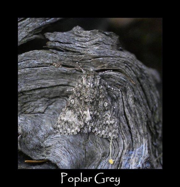 L Poplar Grey
