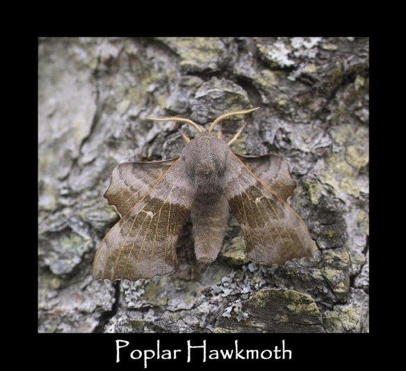 L Poplar Hawkmoth (2)