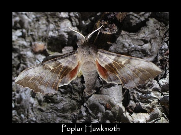 L Poplar Hawkmoth