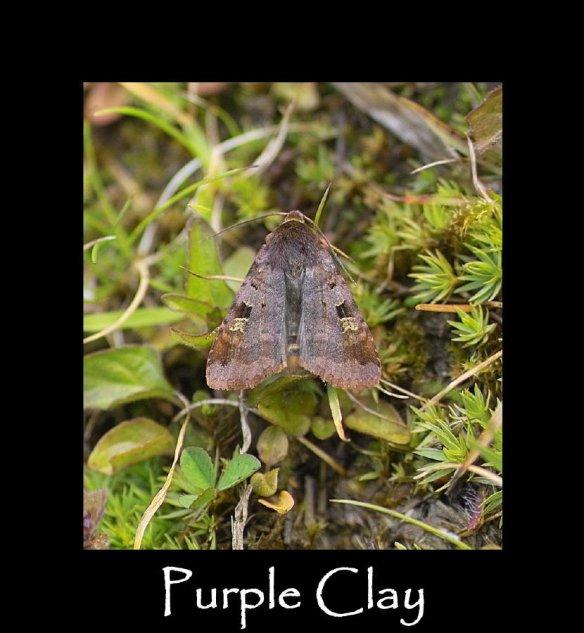 L Purple Clay