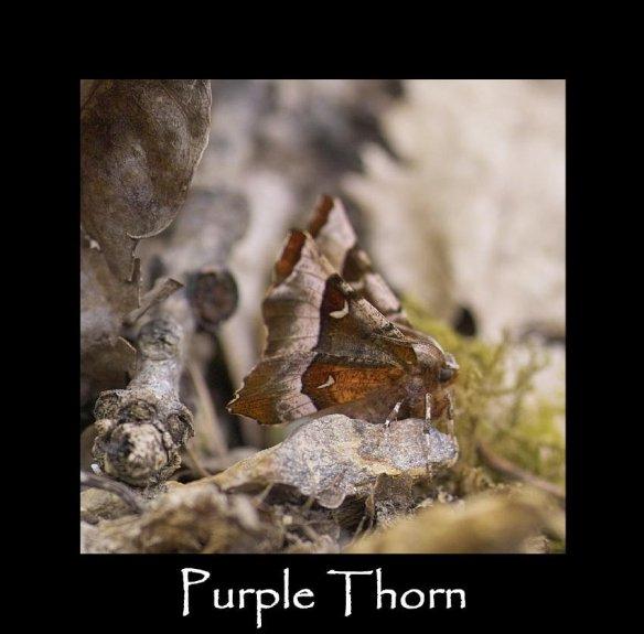 L Purple Thorn 2