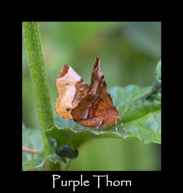 L Purple Thorn (2)