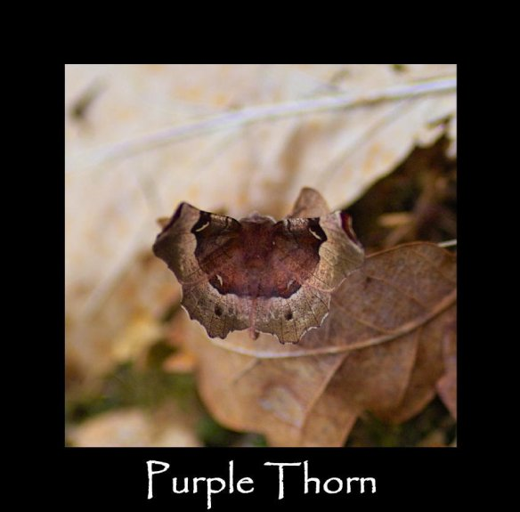 L Purple Thorn