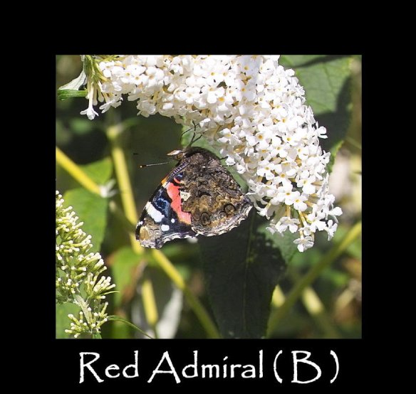 L Red Admiral ( 2 )