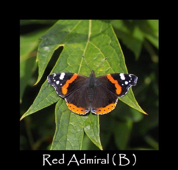 L Red Admiral ( B ) 2 (2)