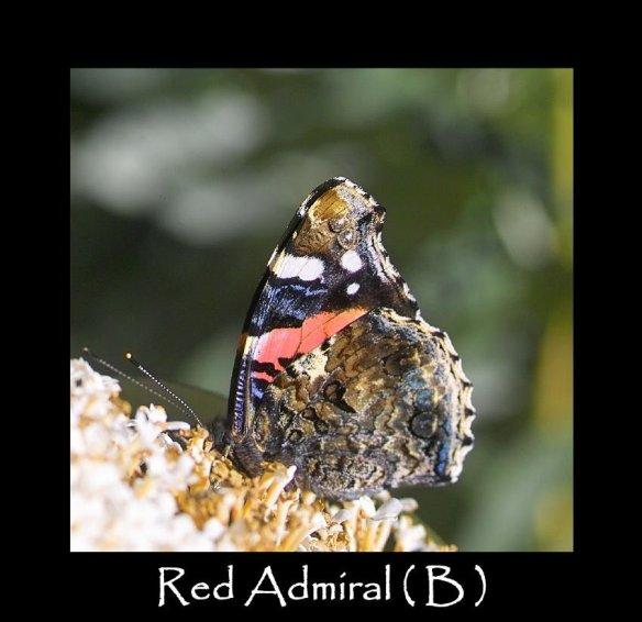 L Red Admiral ( B ) 2