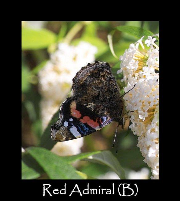 L Red Admiral (B) (2)