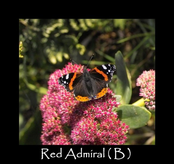 L Red Admiral ( B )