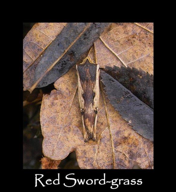 L Red Sword-grass 2
