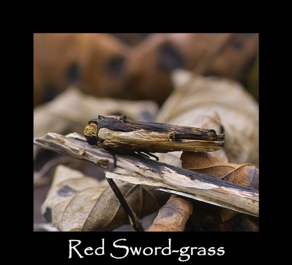 L Red Sword-grass