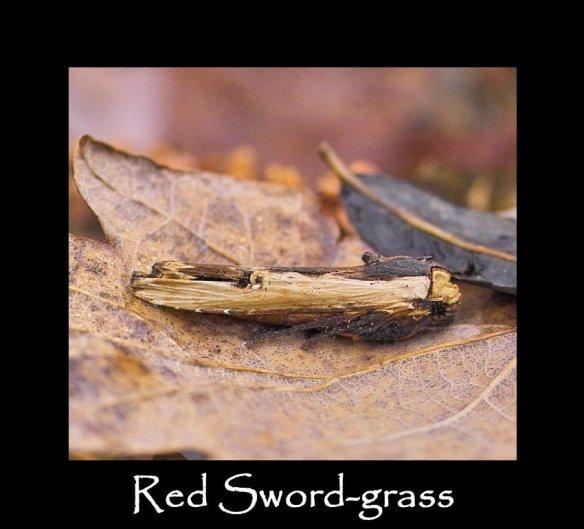 L Red Sword -grass