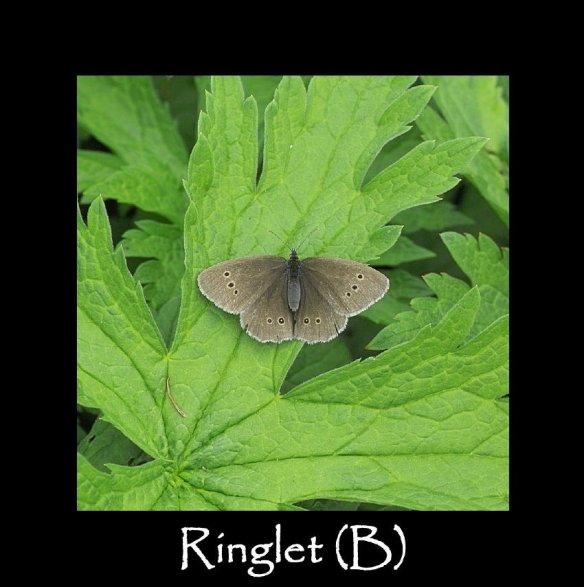 L Ringlet (B) 2
