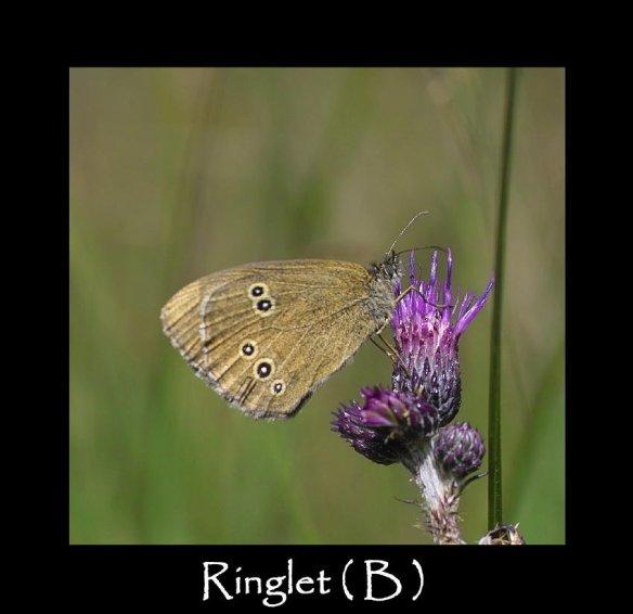 L Ringlet ( B ) (2)