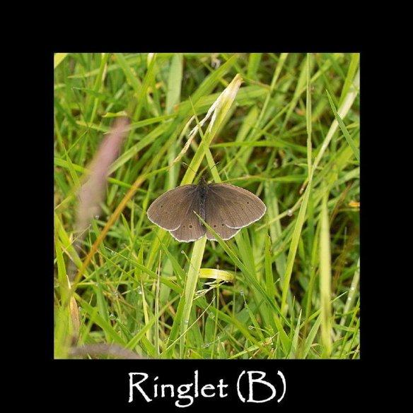 L Ringlet ( B- mating )