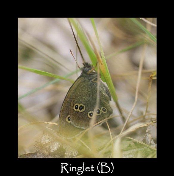 L Ringlet (B)