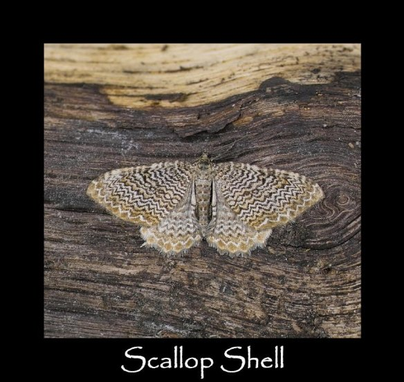 L Scallop Shell