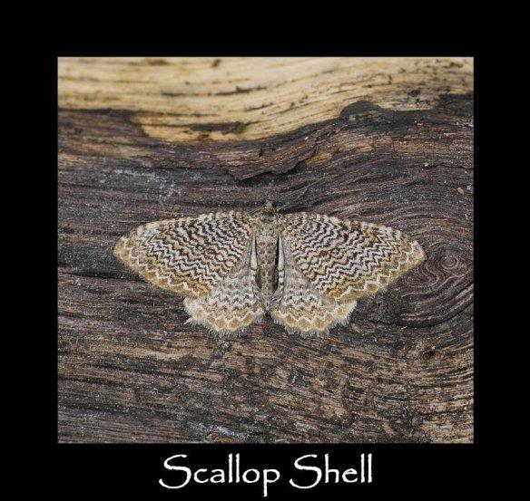 L Scallop Shell