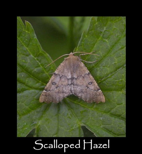 L Scalloped Hazel