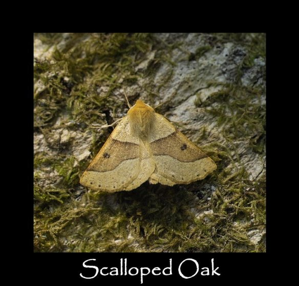 L Scalloped Oak (2)