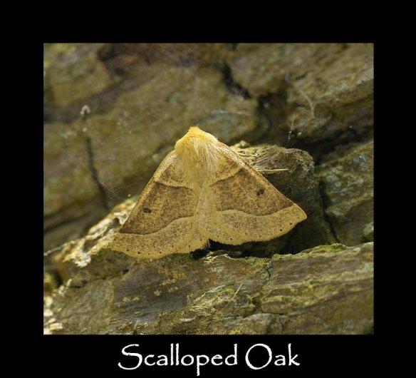 L Scalloped Oak