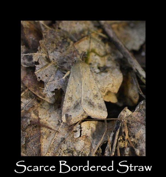 L Scarce Bordered Straw