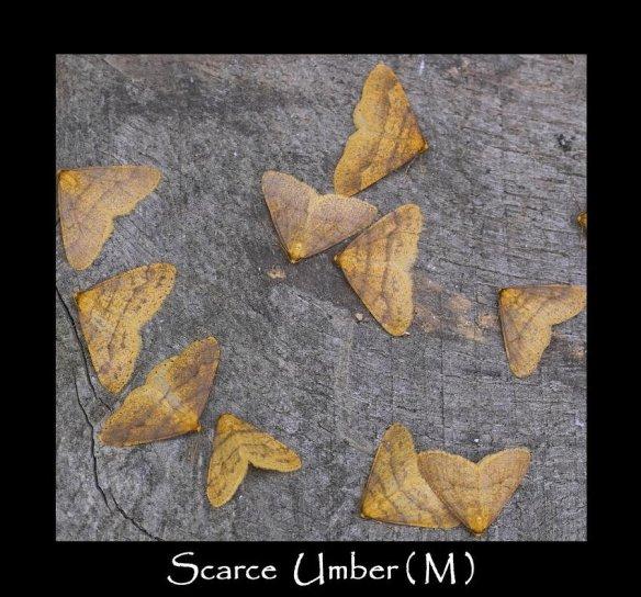 L Scarce Umber ( M ) 2