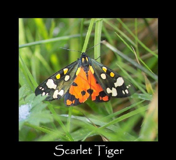 L Scarlet Tiger - 2