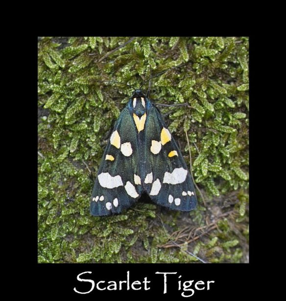 L Scarlet Tiger