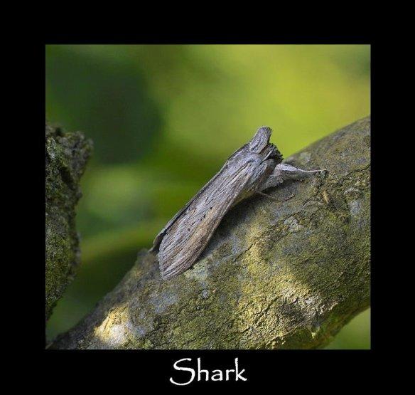 L Shark