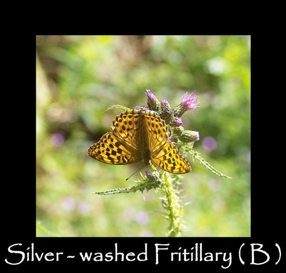 L Silver-washed Fritillary ( B ) (2)