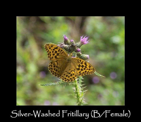 L Silver-washed Fritillary ( B Female )