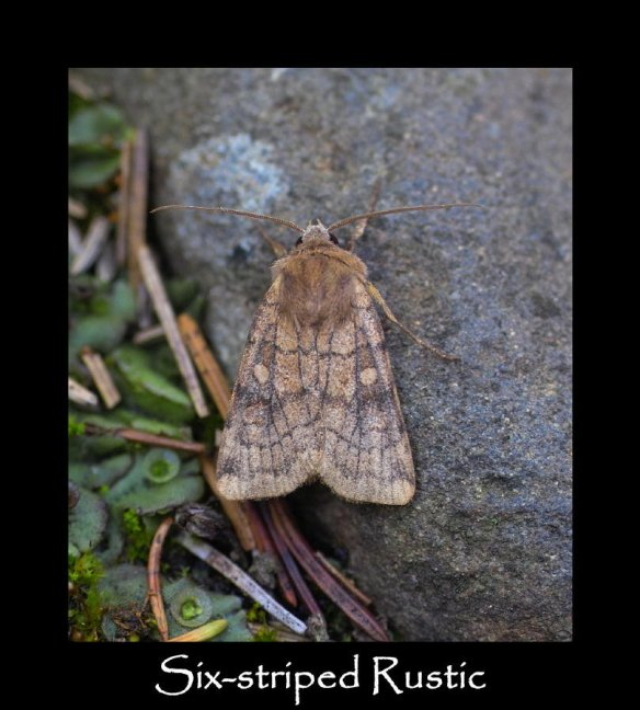 L Six-striped Rustic (2)