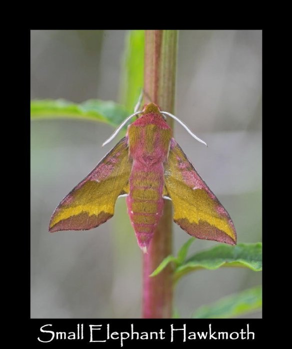 L Small Elephant Hawkmoth