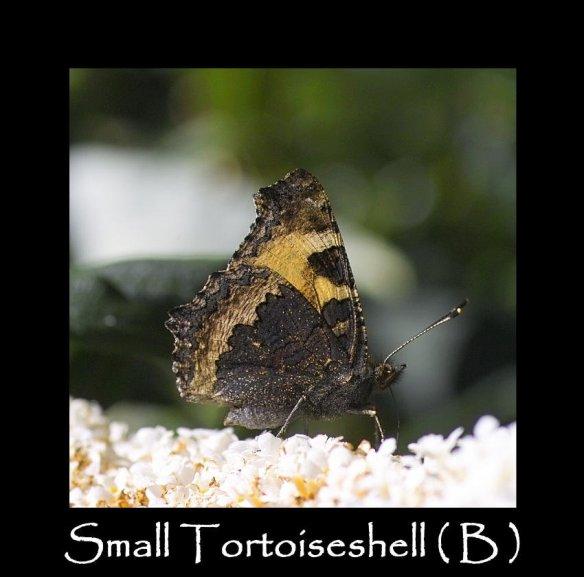 L Small Tortoiseshell ( B) 2