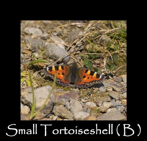 L Small Tortoiseshell ( B ) (2)