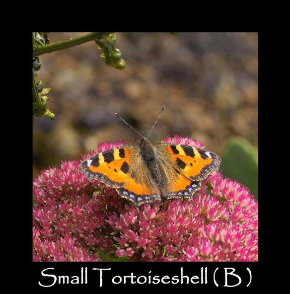 L Small Tortoiseshell ( B ) 2